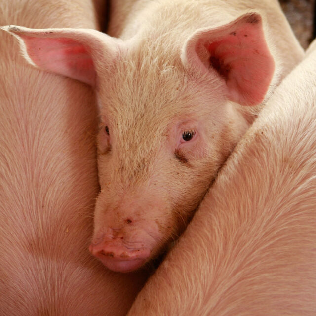 Some of Missouri's largest CAFOs are seeking less stringent state regulation